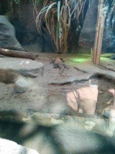 Un Varan de Komodo au zoo de Prague