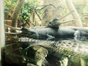 Crocodiles au zoo de Prague