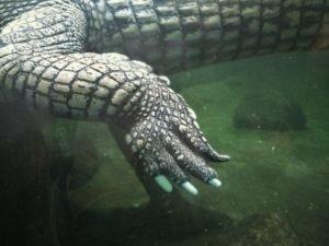 Patte de crocodile