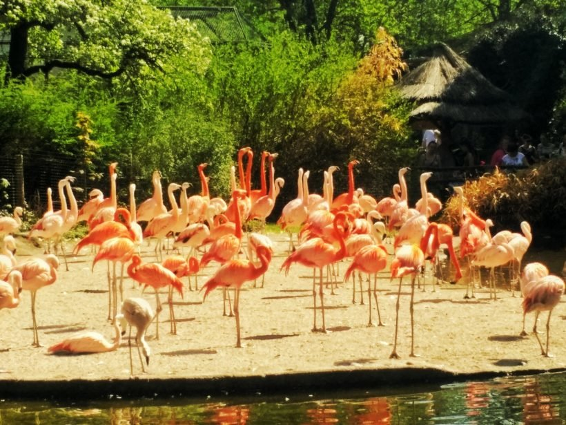 Flamants roses au zoo de Prague