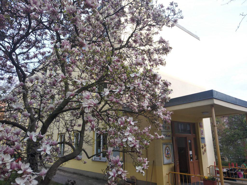 école maternelle tchèque avec arbre fleuri